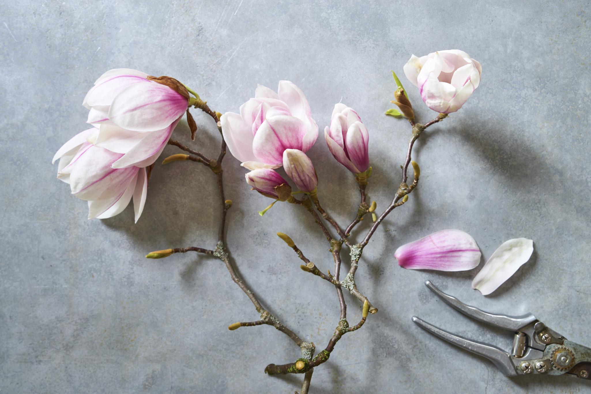 essbare bl ten milchreis mit magnolien eat sleep green. Black Bedroom Furniture Sets. Home Design Ideas