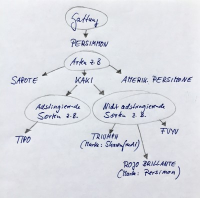 stammbaum-skizze-persimmon