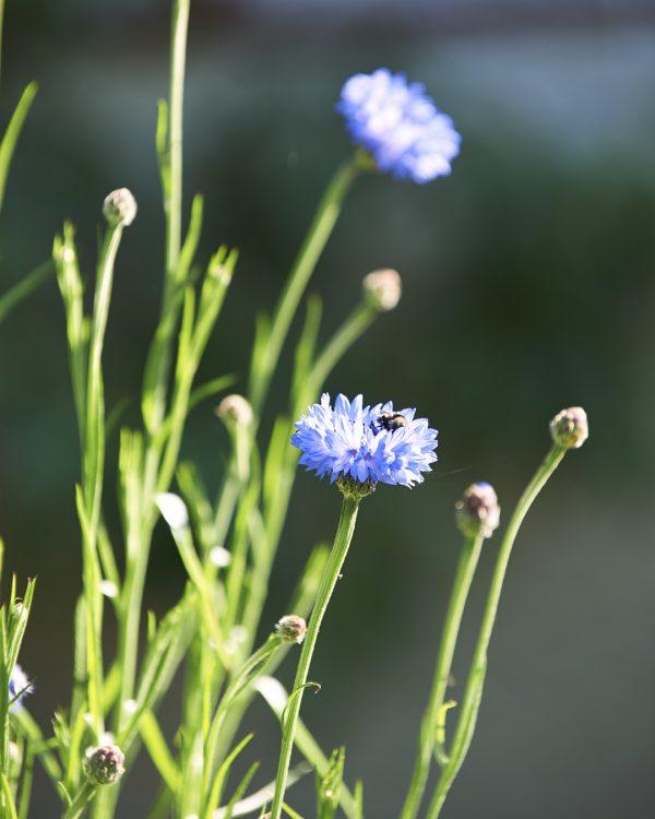 kornblume-blueten-balkongarten-selbstversorger