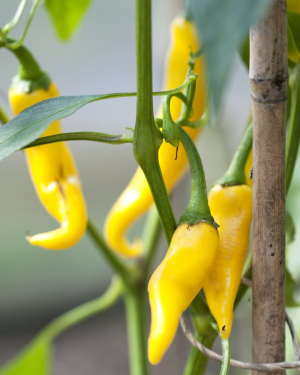 peperoncini-gelb-pflanze-balkongarten-selbstversorger