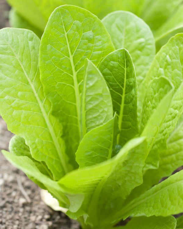 salat-pflanze-balkongarten-gemuese-selbstversorger