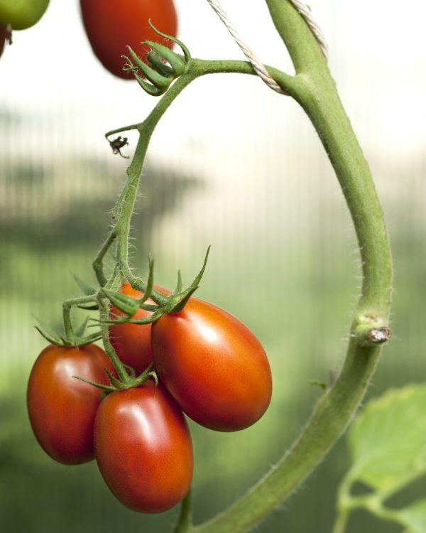 tomate-pflanze-balkongarten-gemuese-selbstversorger
