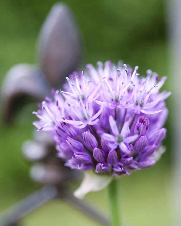 zierlauch-bluete-lila-balkongarten-selbstversorger
