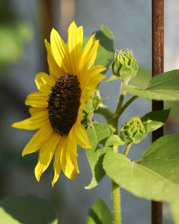 sonnenblume-bluete-balkongarten-selbstversorger