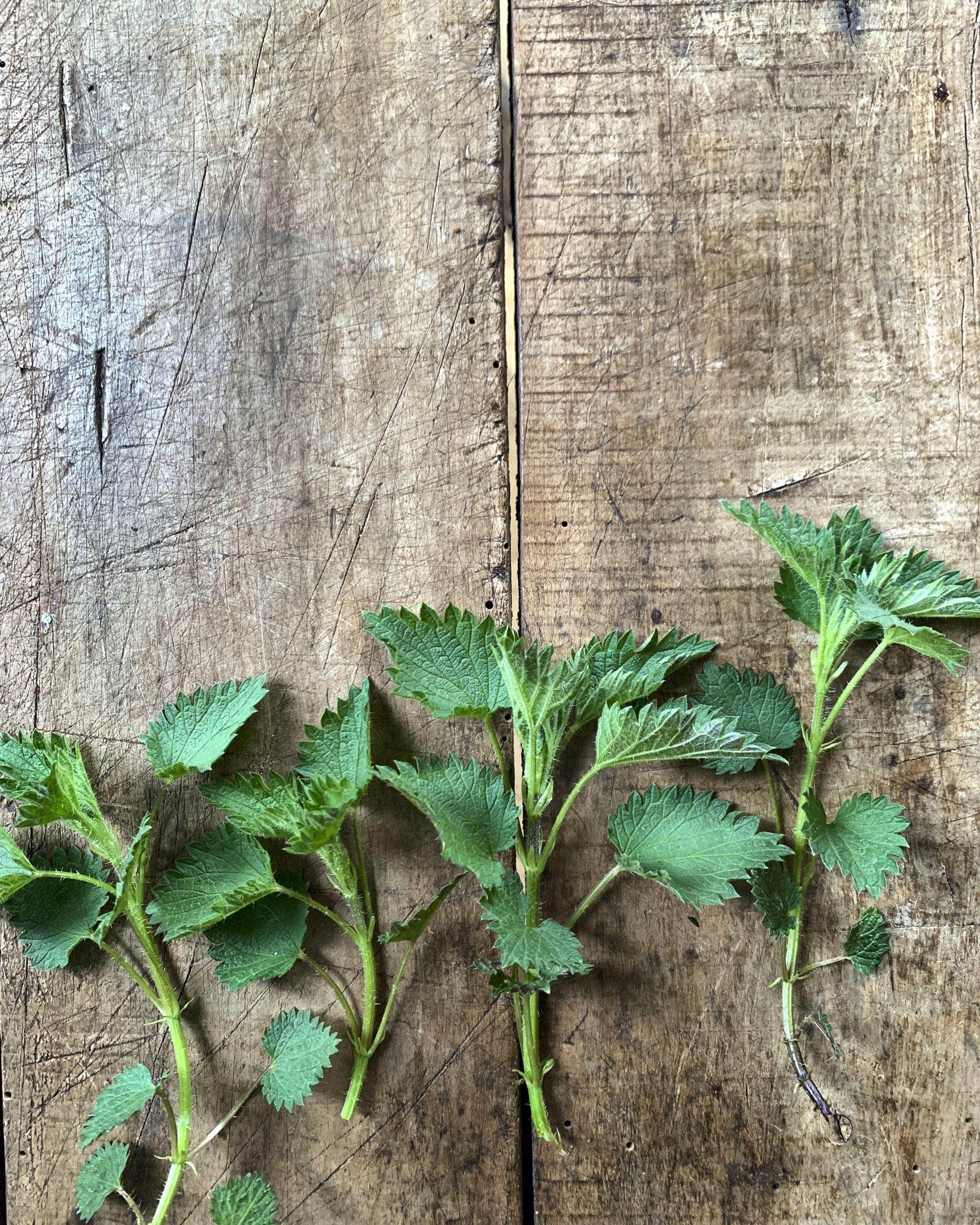 wildkraeuter-brennnessel-essbare-wildpflanzen-pflanzenkueche-naturheilkunde