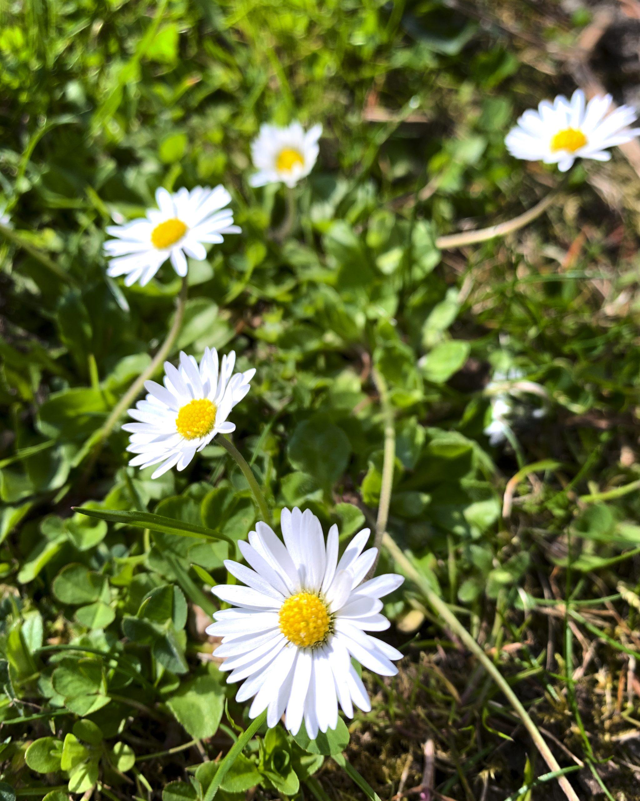 wildkraeuter-gaensebluemchen-essbare-wildblumen-wiesenblumen-pflanzenkueche-naturheilkunde