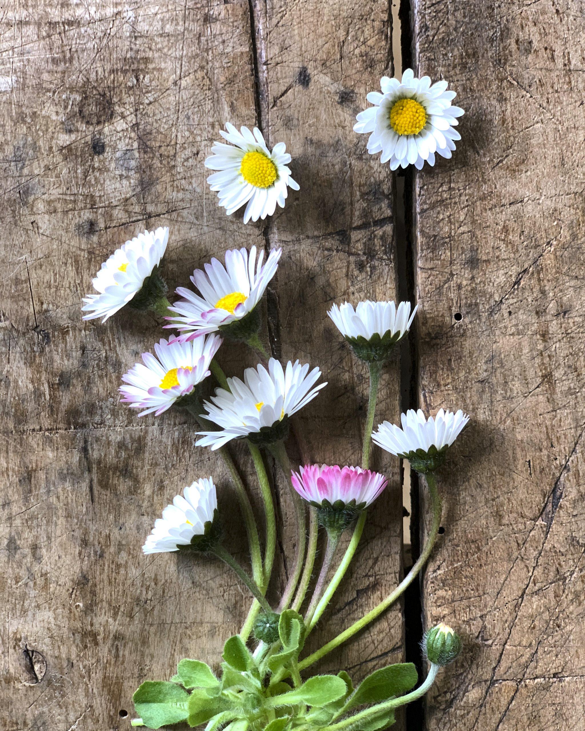 wildkraeuter-gaensebluemchen-essbare-wildpflanzen-pflanzenkueche-naturheilkunde