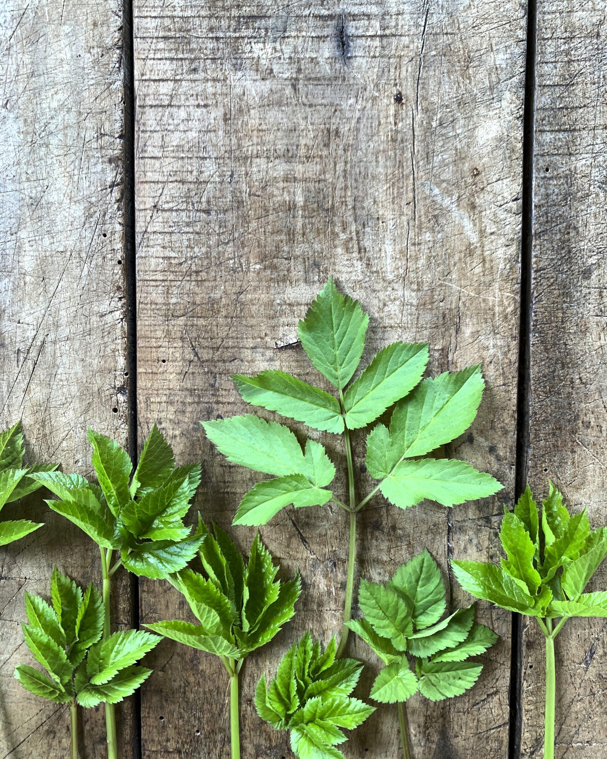 wildkraeuter-giersch-heilkraut-essbare-wildpflanzen-entgiftung-pflanzenkueche-naturheilkunde